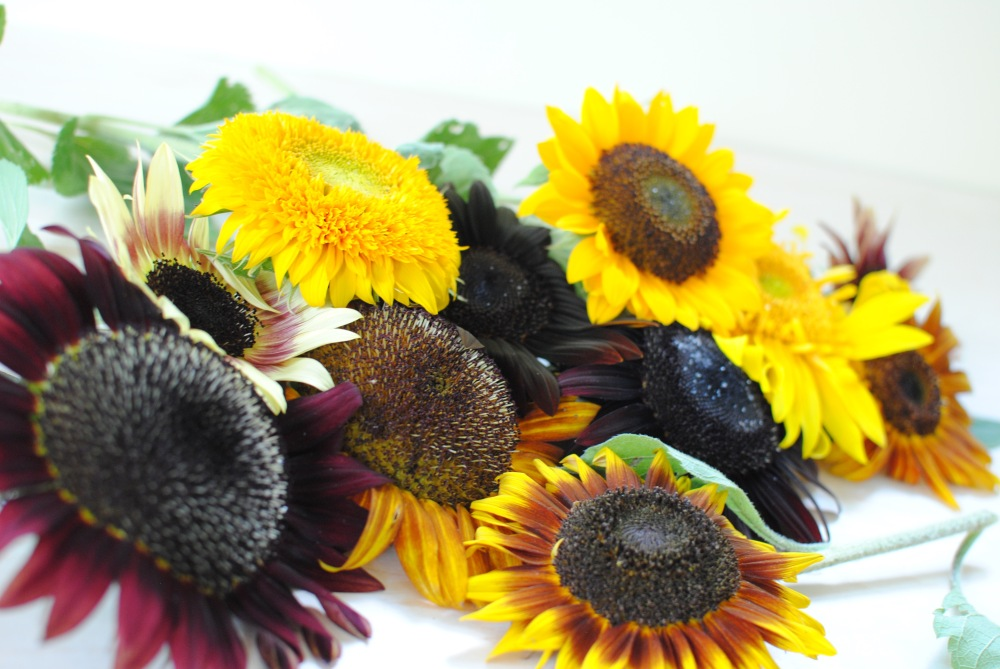 Assorted Sunflowers. Procut Orange, Greenburst, Strawberry Blonde, Moulin Rouge, Chocolate, Procut Red, Ring of Fire